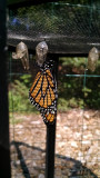 Last monarch of the season