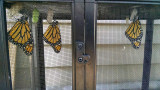 Three monarchs just emerged