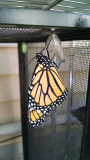Monarch just emerged