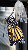 Monarch right after emerging