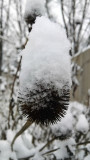 Coneflower in the snow