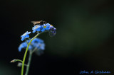 Fly on Forget-me-not.