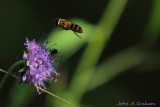 Scabious and friend