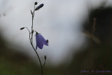Fly on harebell