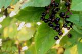 Last of the summer Elderberries