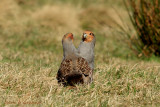 Grey Partridges 4