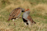 Grey Partridges 1