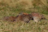 Grey Partridges 2.