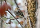 Ovenbird 0028