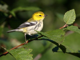 Black-throated Green Warbler 3014
