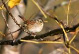 Swamp Sparrow 3382