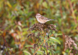 American Tree Sparrow 4577