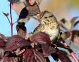Lincoln's Sparrow 3489