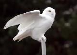 Snowy Owl 5614