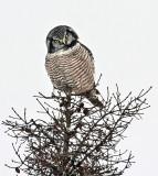 Northern Hawk Owl 6435