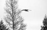 Northern Hawk Owl 6302