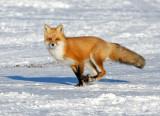 Red Fox 6598