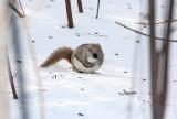Flying Squirrel 6714