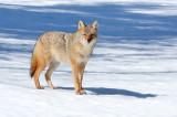 Coyote 7304