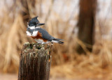 Belted Kingfisher 8469