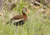 Black-bellied Whistling Duck - May 2014