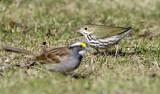 Ovenbird 1078