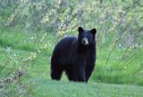 Black Bear 9738