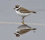 Semipalmated Plover 2358