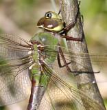 Common Green Darner 2125
