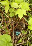 Hermit Thrush nest 2639