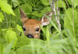 White-tailed Deer fawn 2917