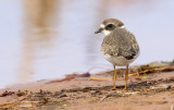 Semipalmated Plover 7517