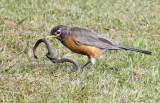 Amer. Robin with snake 6725