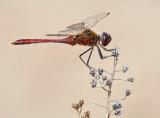 Saffron-winged Meadowhawk_7580