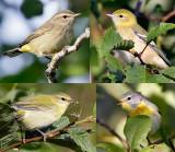 Another warbler quiz_0902