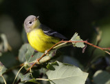 Magnolia Warbler 8352