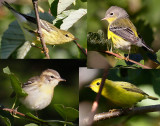 Yet another warbler quiz_0906