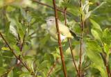 Orange-crowned Warbler 8947
