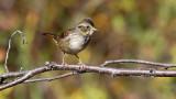 Swamp Sparrow 9500