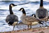 Cackling Goose 9808