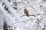 Barred Owl 1629