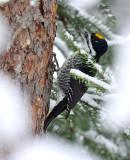 Black-backed Woodpecker 1692