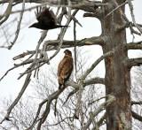 Bald Eagle 2655