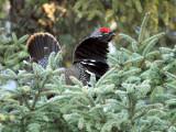 Spruce Grouse_0035