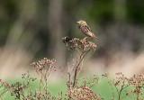 Henslow's Sparrow_1682