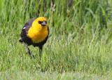 Yellow-headed Blackbird - May 2015