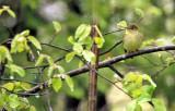 Yellow-bellied Flycatcher_2250.jpg