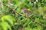 Field Sparrow_2324.jpg