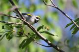 Golden-winged Warbler_1990.jpg