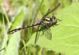 Riffle Snaketail_2042.jpg